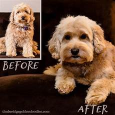 goldendoodle haircuts pets goldendoodle haircuts f1b haircutbeforeafter goldendoodle grooming goldendoodle puppy haircut
