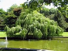 arbre a pousse rapide arbres et arbustes 224 croissance rapide