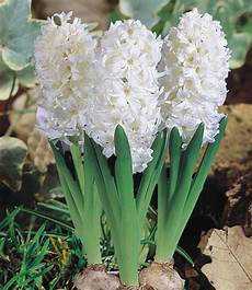 hyazinthe im topf wei 223 1a zimmerpflanzen kaufen