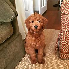 16 new goldendoodle haircut guide pictures meowlogy 16 new goldendoodle haircut guide pictures meowlogy goldendoodle haircuts f1b goldendoodle