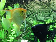 passen wir zusammen namen fische passen zusammen skalare aquarium perfekt