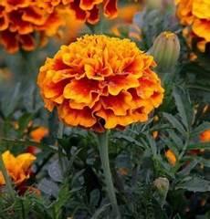 tagete fiore coltivazione tagete fiore utile all orto bio
