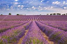 paesaggi fioriti prati fioriti di lavanda in provenza francia sud