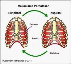 Anatomi Fisiologi 1 Sistem Pernafasan Respirasi