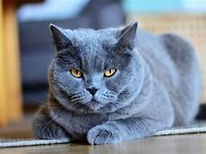 conoce al gato cartujo o gato chartreux es una de las