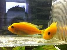 barsch kleinanzeigen aquarium fische zubeh 246 r deine