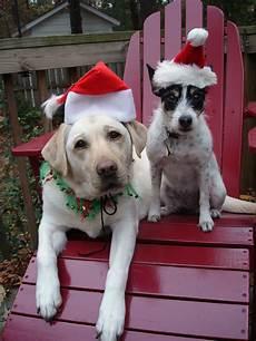 merry christmas animals labrador retriever merry