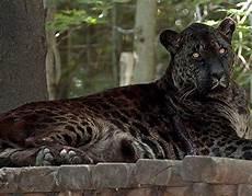 Jaglion Jaguar Strange Hybrid