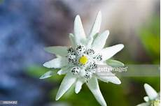 fiore edelweiss edelweiss photos et images de collection getty images