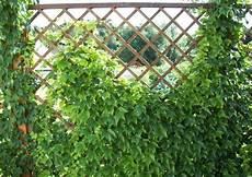 Welche Pflanzen Als Sichtschutz - spalierpflanzen welche sind wirklich geeignet garten