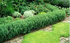 gamander teucrium instead of buxus sempervirens plants