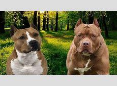 Sbranato in casa dai suoi due cani da combattimento