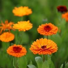 pflanzen gegen mücken und fliegen top 5 pflanzen gegen m 252 cken und fliegen wohnideen und