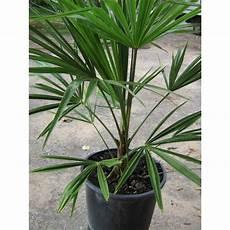 trachycarpus fortunei pot de 10l palmeraie zen