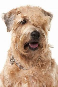 haircuts for wheaten terriers soft coated wheaten terrier haircut haircuts you ll be asking for in 2020