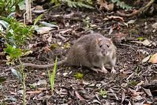 ratten fangen tipps anlocken m 228 usen und ratten vermeiden m 228 use fangen