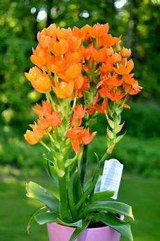 Zimmerpflanze Orange Blüte - pflege des milchstern ornithogalum dubium milchstern