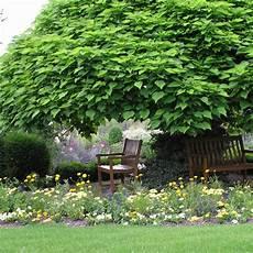 trompetenbaum pflanzen pflegen und schneiden mein