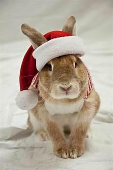 santa bunny christmas bunny christmas animals rabbit pictures