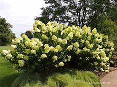 hydrangea paniculata limelight limelight panicled