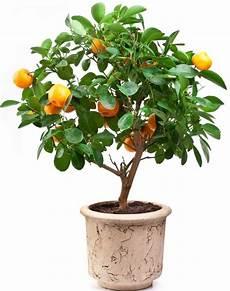agrumes en pot oranger en pot plantation entretien et r 233 colte des oranges