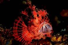 File Rhinopias Scorpionfish Jpg