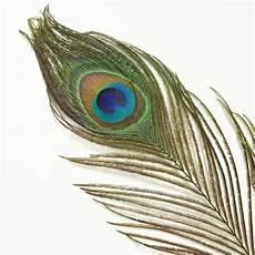 plume de paon sur le fond blanc photo stock image du