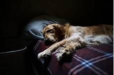 hund fieber messen fieber beim hund erkennen messen und behandeln