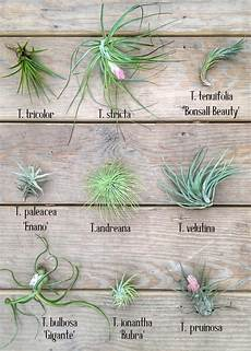 air plant chart a air plant garden types of air plants