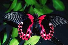 Gambar Kupu Kupu Cantik Dan Indah Terbaru Gambarcoloring