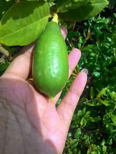 Tanaman Jeruk Lemon Tea Lemon Bibitbunga