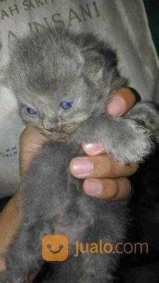 Kucing Curan Anggora Warna Abu Abu Kab