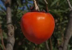 wann sind äpfel reif wann ist eine kaki reif 187 daran erkennen sie es