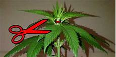 should i quot top quot an auto flowering cannabis plant grow easy