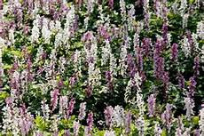 pflanzen für trockene schattige standorte str 228 ucher trockener schattiger standort pflanzen f 252 r
