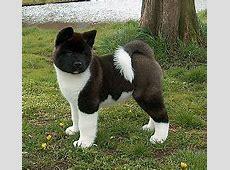 Amerikaanse akita of Great Japanese dog   Rassen   Honden