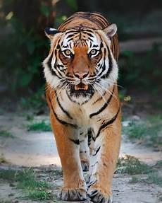 Gambar Harimau Lengkap Gambar Foto