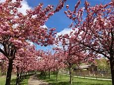 sfondi fiore a berlino si festeggiano i ciliegi in fiore dove prima