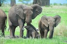Malvorlage Indischer Elefant Die Haut Der Elefanten Elefantenhaut Upali Ch Ganzes