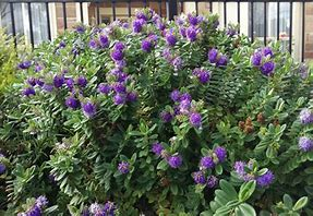 Image result for Hebe Garden