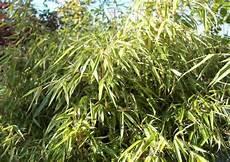 bambushecke als sichtschutz freundliche optik und immergr 252 n