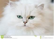 prezzi gatti persiani gatti persiani bianchi fotografia stock immagine di bello