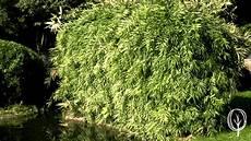 schnell wachsender sichtschutz schnell wachsender sichtschutz luxus baumfrei de artikel bambus sichtschutz beitragsbild bild