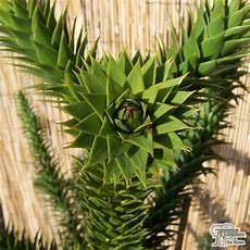 buy araucaria araucana monkey puzzle tree in the uk