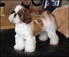 105 best images about shih tzu hair cuts on pinterest