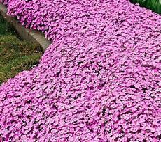 plantes vivaces pour talus plante couvre sol un tableau de couleurs naturelles dans