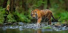 Tiger Image tigers confirmed as six subspecies and that is a big deal