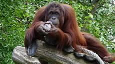 Koleksi Gambar Kartun Orangutan Phontekno