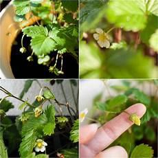 tipps wie sie erdbeeren auf dem balkon pflanzen und