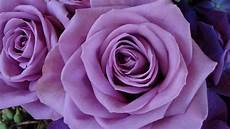 purple roses wallpapers 183 wallpapertag
